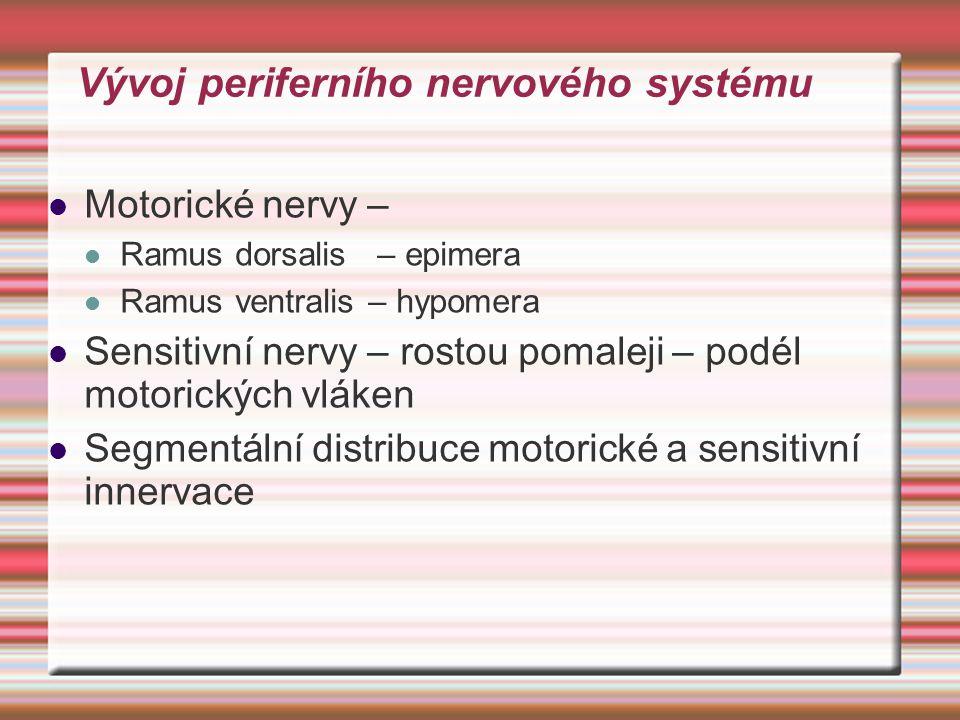 Vývoj periferního nervového systému Motorické nervy – Ramus dorsalis – epimera Ramus ventralis – hypomera Sensitivní nervy – rostou pomaleji – podél m