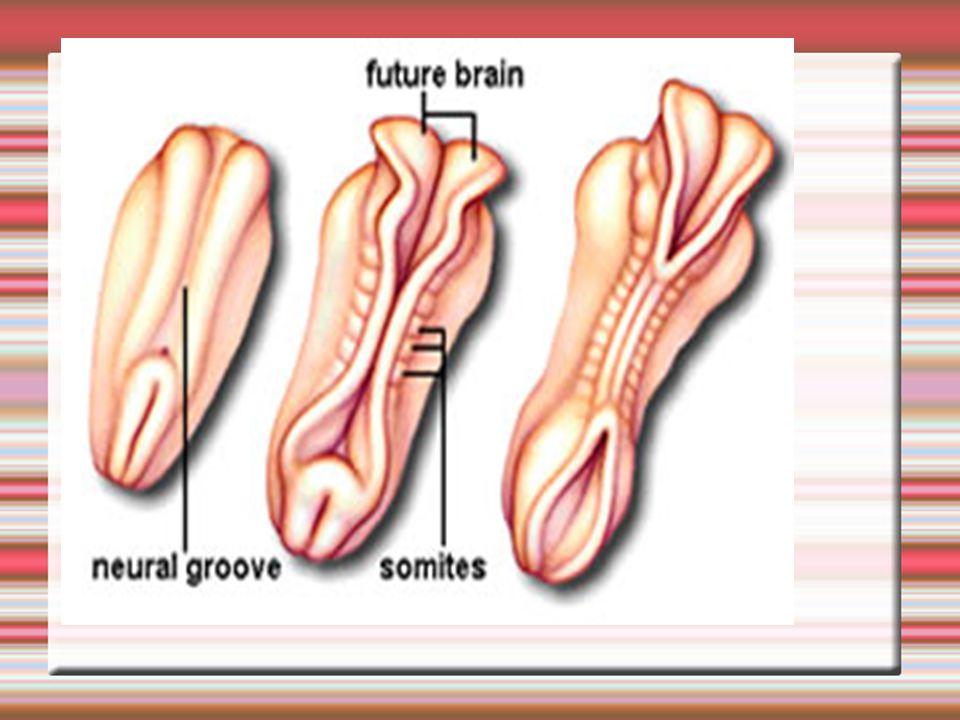 Neurulace Budoucí mícha a rozdělení mozku jsou viditelné na začátku 4.