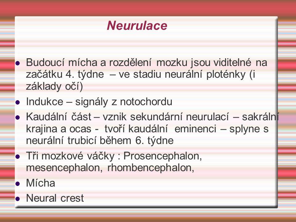 Neurulace Budoucí mícha a rozdělení mozku jsou viditelné na začátku 4. týdne – ve stadiu neurální ploténky (i základy očí) Indukce – signály z notocho