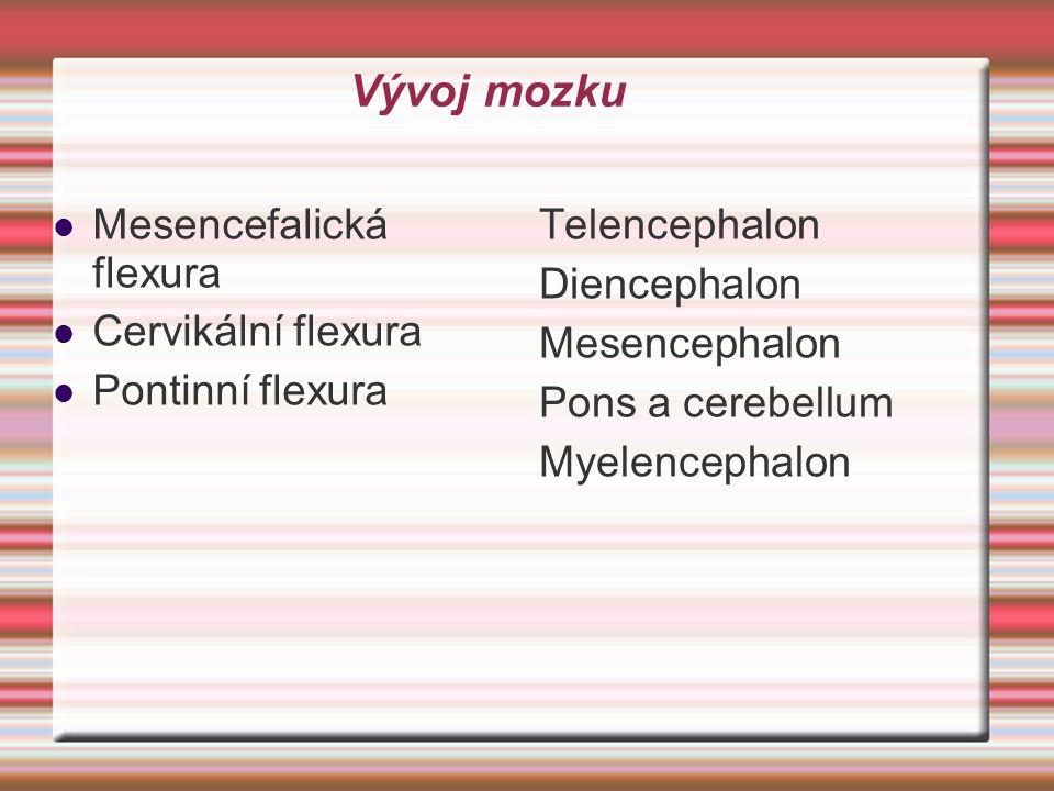 Vývoj mozku Mesencefalická flexura Cervikální flexura Pontinní flexura Telencephalon Diencephalon Mesencephalon Pons a cerebellum Myelencephalon