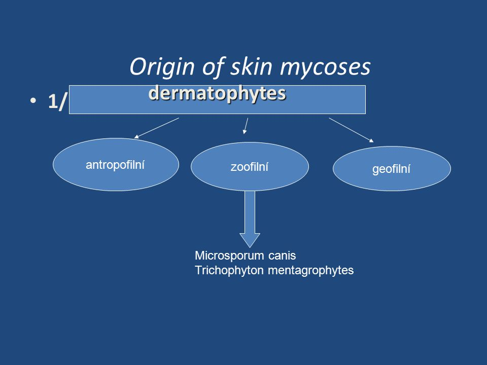 Origin of skin mycoses 1/ dermatophytes antropofilní zoofilní geofilní Microsporum canis Trichophyton mentagrophytes