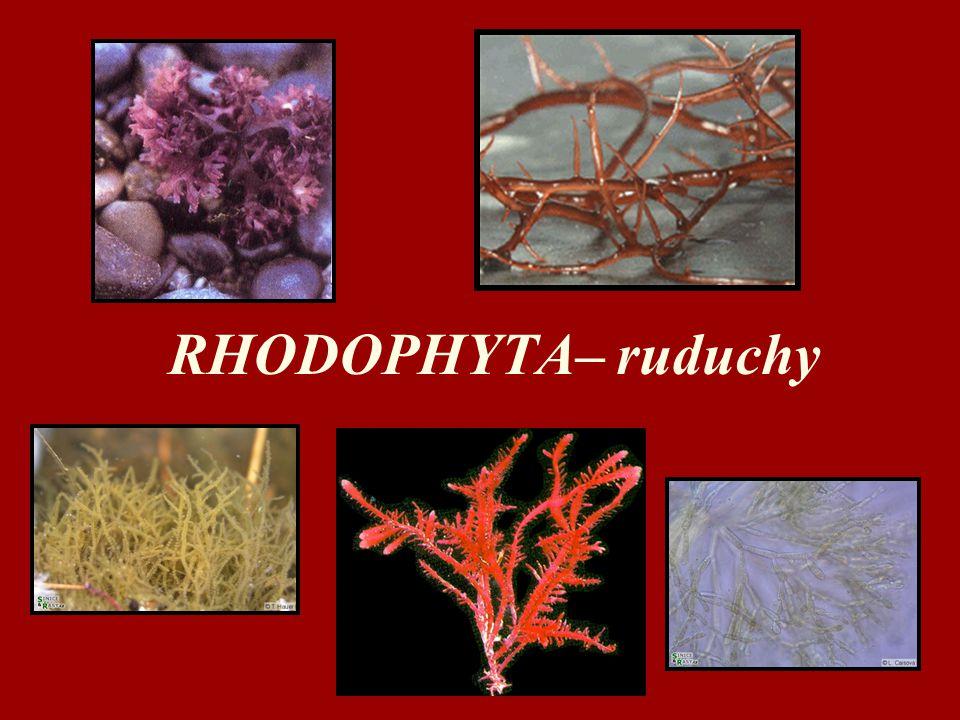 RHODOPHYTA– ruduchy