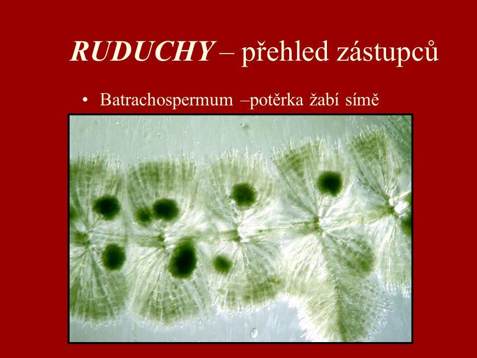 RUDUCHY – přehled zástupců Batrachospermum –potěrka žabí símě