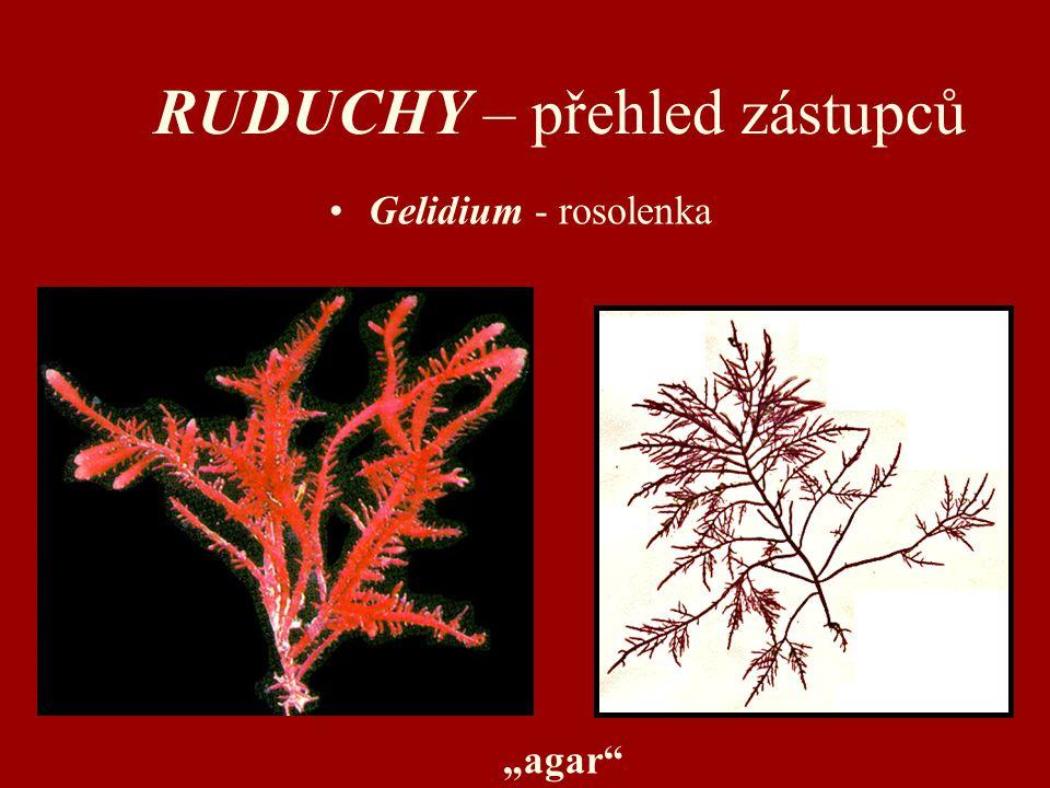 "RUDUCHY – přehled zástupců Gelidium - rosolenka ""agar"