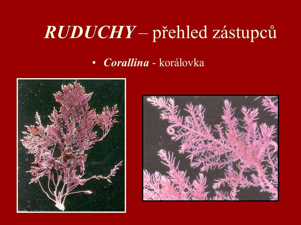 RUDUCHY – přehled zástupců Corallina - korálovka