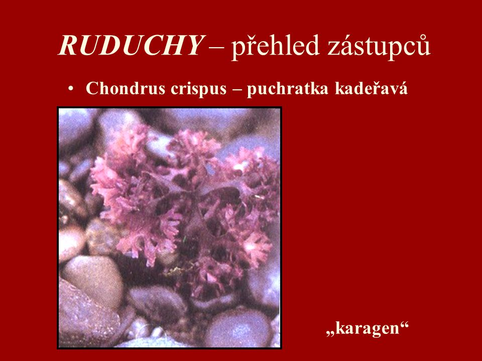 "RUDUCHY – přehled zástupců Chondrus crispus – puchratka kadeřavá ""karagen"