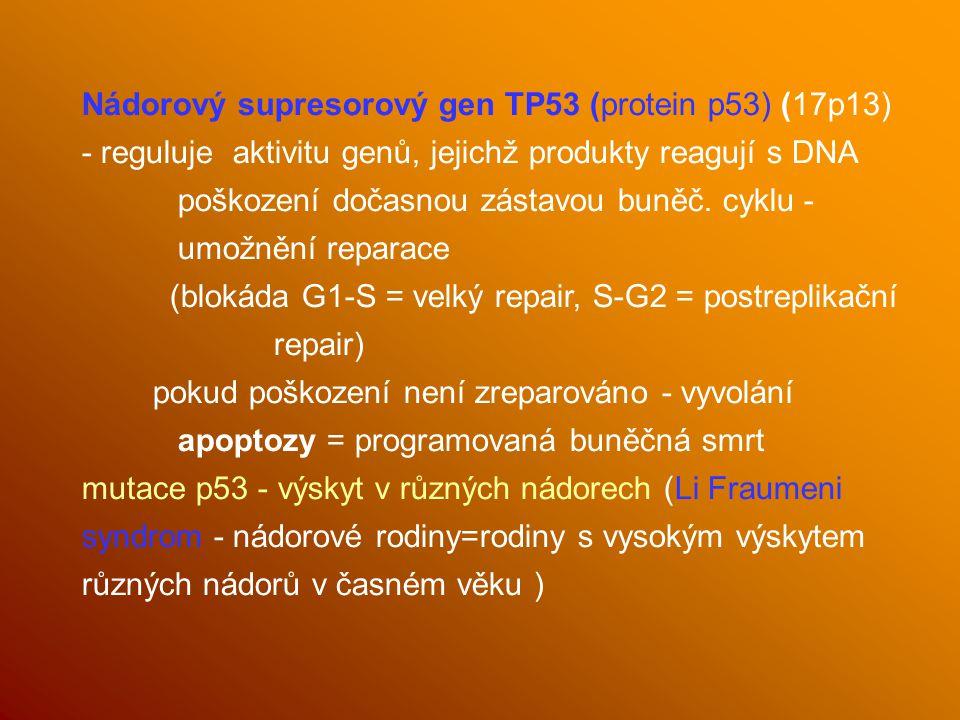 Nádorový supresorový gen TP53 (protein p53) (17p13) - reguluje aktivitu genů, jejichž produkty reagují s DNA poškození dočasnou zástavou buněč.