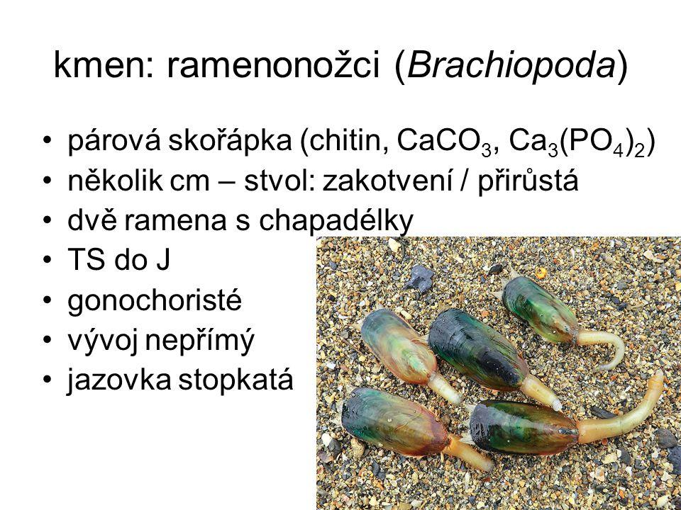 kmen: ramenonožci (Brachiopoda) párová skořápka (chitin, CaCO 3, Ca 3 (PO 4 ) 2 ) několik cm – stvol: zakotvení / přirůstá dvě ramena s chapadélky TS do J gonochoristé vývoj nepřímý jazovka stopkatá