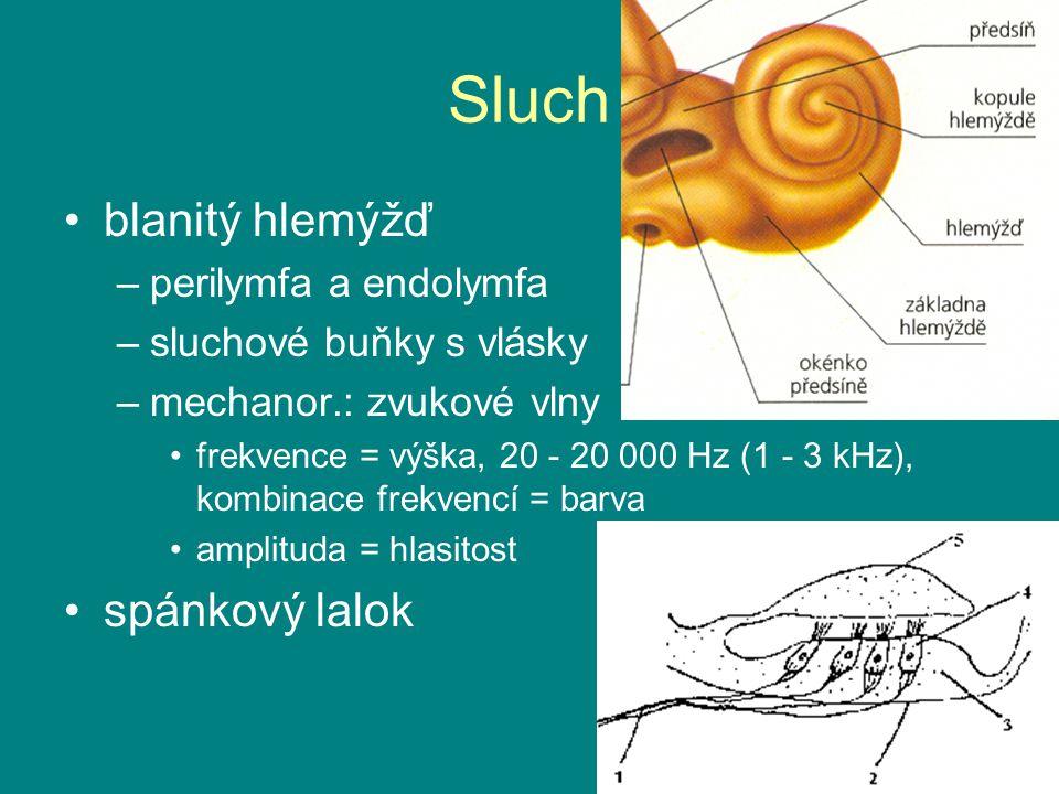 Sluch blanitý hlemýžď –perilymfa a endolymfa –sluchové buňky s vlásky –mechanor.: zvukové vlny frekvence = výška, 20 - 20 000 Hz (1 - 3 kHz), kombinace frekvencí = barva amplituda = hlasitost spánkový lalok