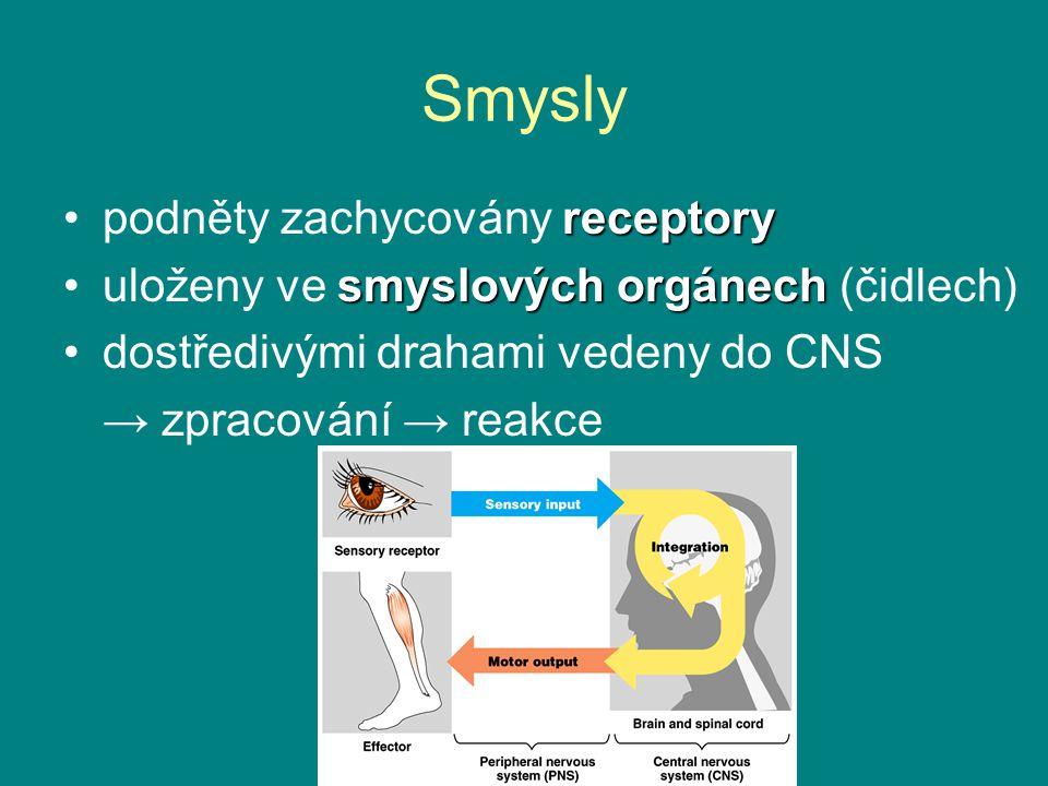 Smysly receptorypodněty zachycovány receptory smyslových orgánechuloženy ve smyslových orgánech (čidlech) dostředivými drahami vedeny do CNS → zpracování → reakce