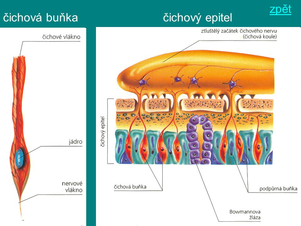 čichová buňkačichový epitel zpět