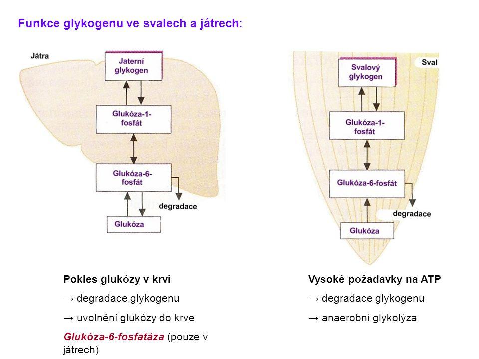 Funkce glykogenu ve svalech a játrech: Vysoké požadavky na ATP → degradace glykogenu → anaerobní glykolýza Pokles glukózy v krvi → degradace glykogenu