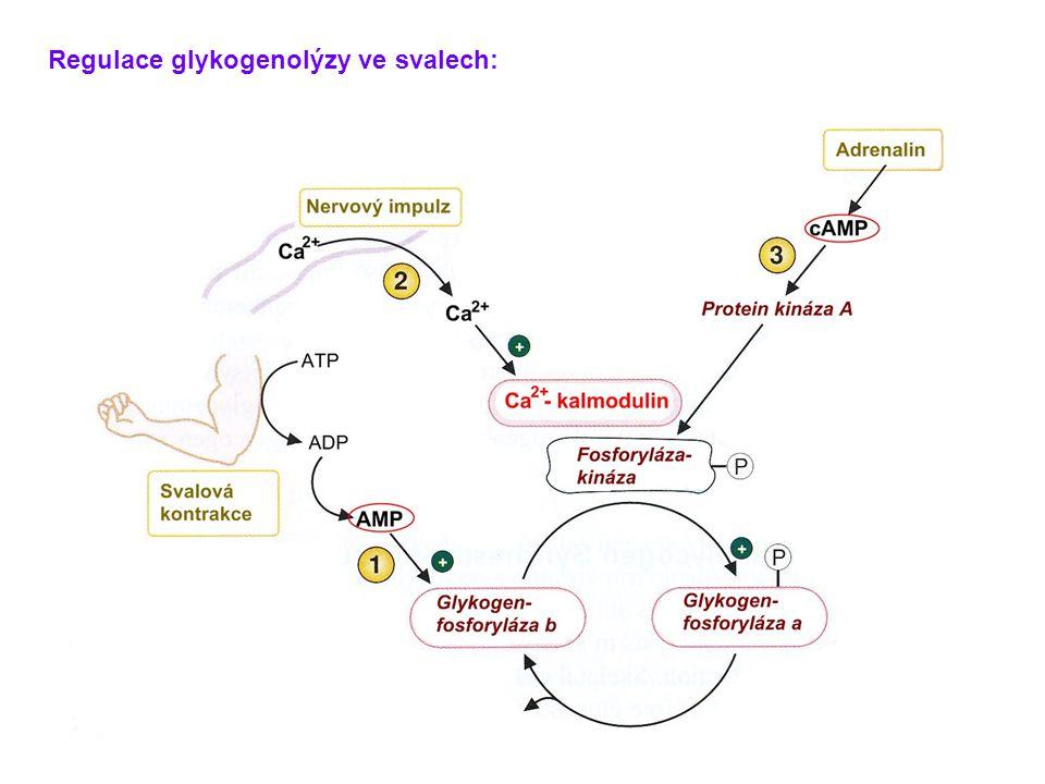 Regulace glykogenolýzy ve svalech: