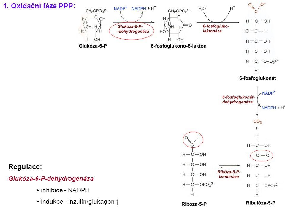 1. Oxidační fáze PPP: Regulace: Glukóza-6-P-dehydrogenáza inhibice - NADPH indukce - inzulín/glukagon ↑