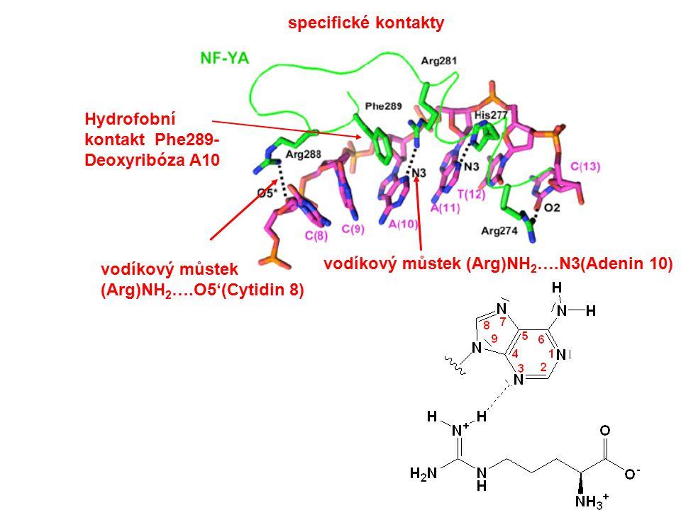 specifické kontakty vodíkový můstek (Arg)NH 2 ….N3(Adenin 10) Hydrofobní kontakt Phe289- Deoxyribóza A10 vodíkový můstek (Arg)NH 2 ….O5'(Cytidin 8)