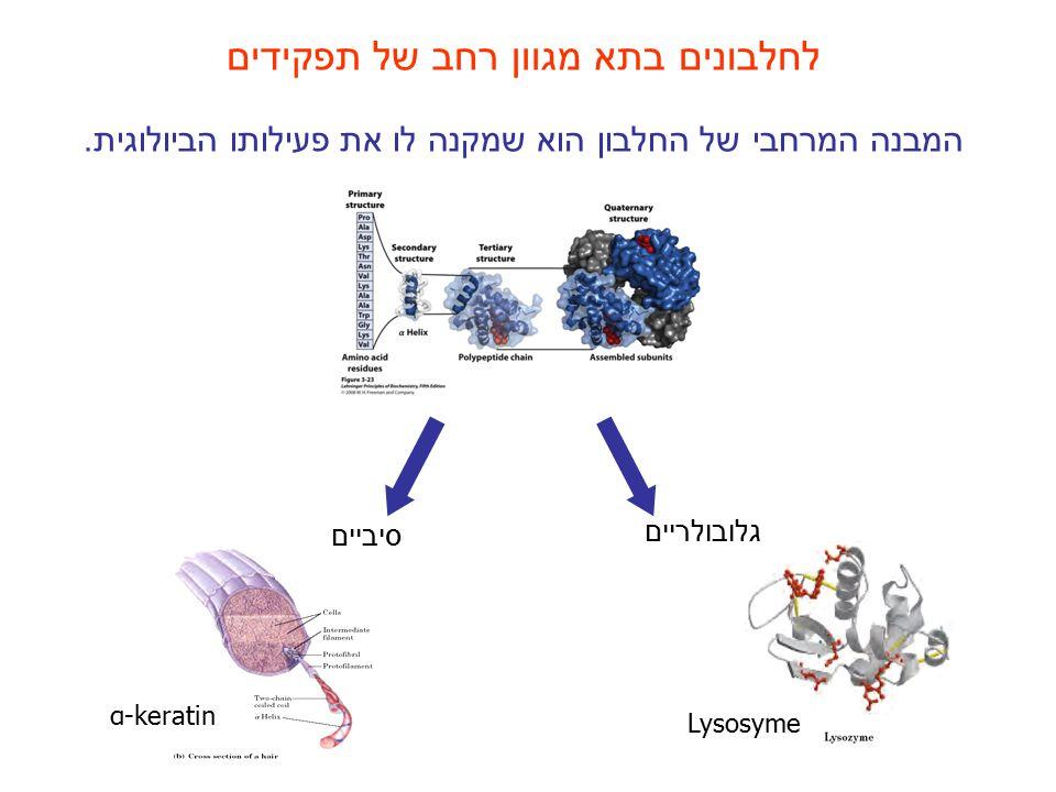 לחלבונים בתא מגוון רחב של תפקידים המבנה המרחבי של החלבון הוא שמקנה לו את פעילותו הביולוגית. גלובולריים סיביים α-keratin Lysosyme