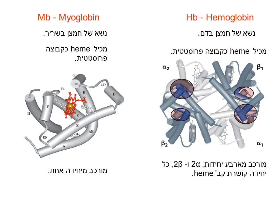 Mb - MyoglobinHb - Hemoglobin נשא של חמצן בשריר. נשא של חמצן בדם. מכיל heme כקבוצה פרוסטטית. מורכב מארבע יחידות, 2α ו- 2β, כל יחידה קושרת קב' heme. מו