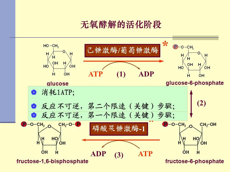 无氧酵解的活化阶段 glucose (1) 己糖激酶 / 葡萄糖激酶 ATPADP * glucose-6-phosphate 磷酸己糖异构酶 (2) fructose-6-phosphate 磷酸果糖激酶 -1 ATPADP * (3) fructose-1,6-bisphosphate  