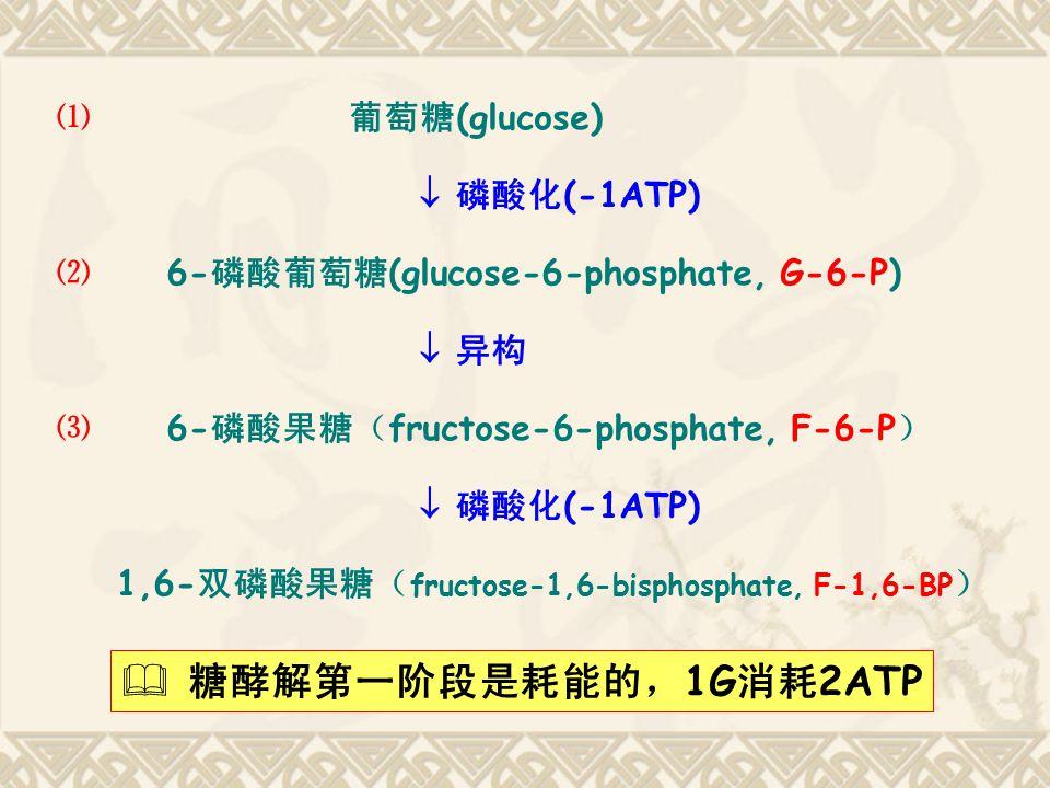 ⑴ 葡萄糖 (glucose)  磷酸化 (-1ATP) ⑵ 6- 磷酸葡萄糖 (glucose-6-phosphate, G-6-P)  异构 ⑶ 6- 磷酸果糖( fructose-6-phosphate, F-6-P )  磷酸化 (-1ATP) 1,6- 双磷酸果糖( fructose