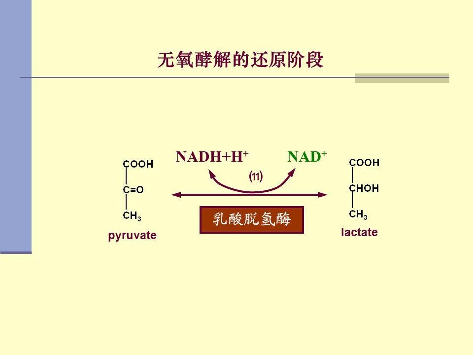 无氧酵解的还原阶段 乳酸脱氢酶 NAD + NADH+H + ⑾ pyruvate lactate