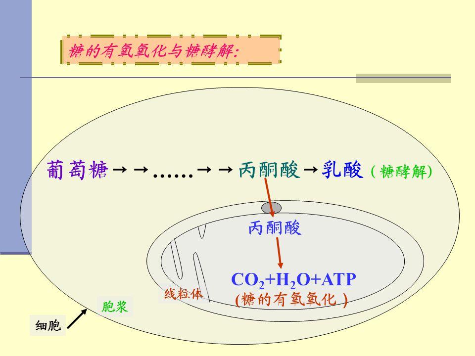 糖的有氧氧化与糖酵解: 细胞 胞浆 线粒体 葡萄糖→→ …… →→丙酮酸→乳酸 (糖酵解) CO 2 +H 2 O+ATP ( 糖的有氧氧化 ) 丙酮酸