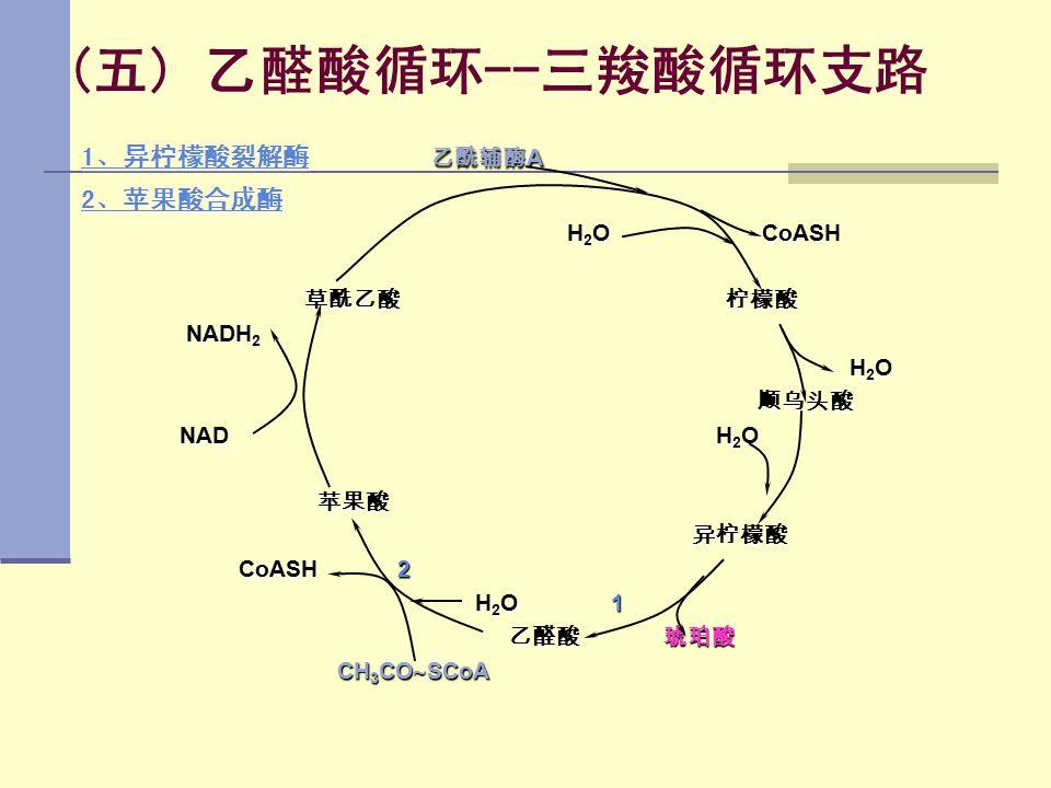 (五) 乙醛酸循环--三羧酸循环支路 1、异柠檬酸裂解酶 1、异柠檬酸裂解酶 乙酰辅酶 A 1、异柠檬酸裂解酶 2、苹果酸合成酶 2、苹果酸合成酶 H 2 O CoASH H 2 O CoASH 草酰乙酸 柠檬酸 草酰乙酸 柠檬酸 NADH 2 NADH 2 H 2 O H 2 O 顺乌头酸 顺乌头