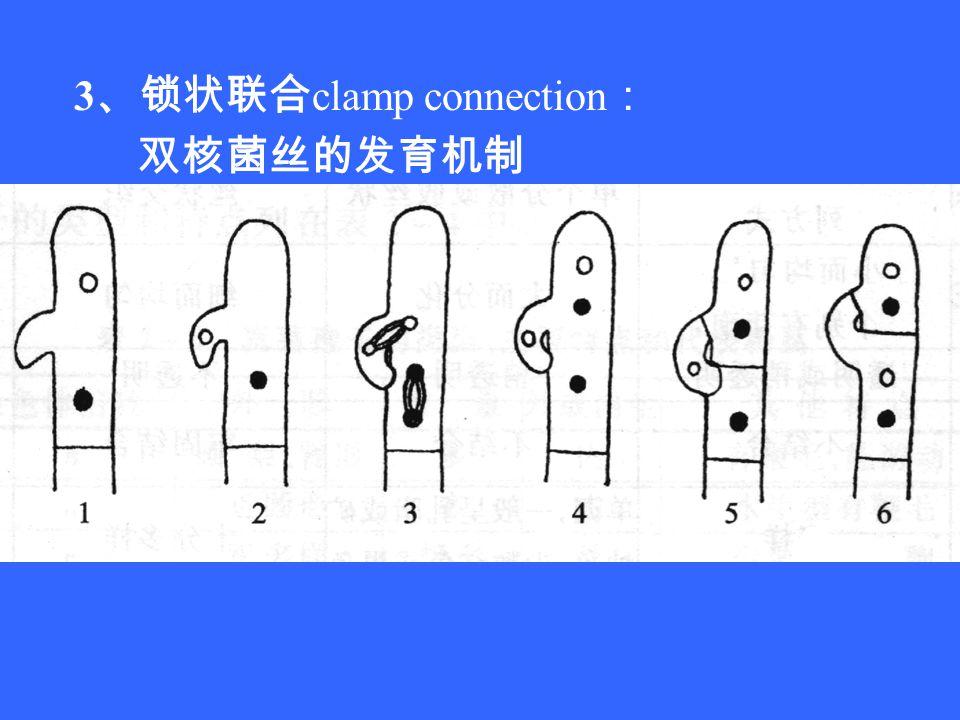 3 、锁状联合 clamp connection : 双核菌丝的发育机制