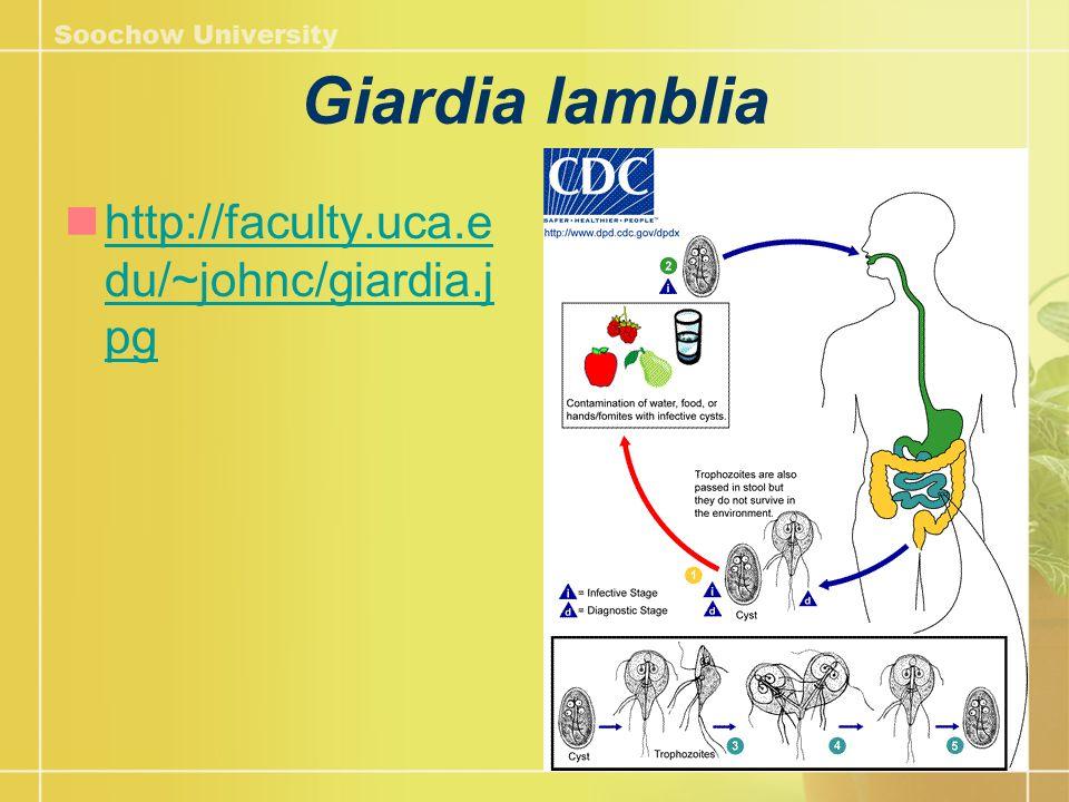 Giardia lamblia http://faculty.uca.e du/~johnc/giardia.j pg http://faculty.uca.e du/~johnc/giardia.j pg