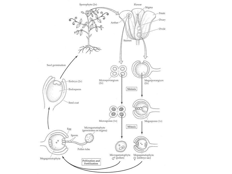 Typy placentace (laminální, submarginální; axilární, parietální, centrální, bazální)