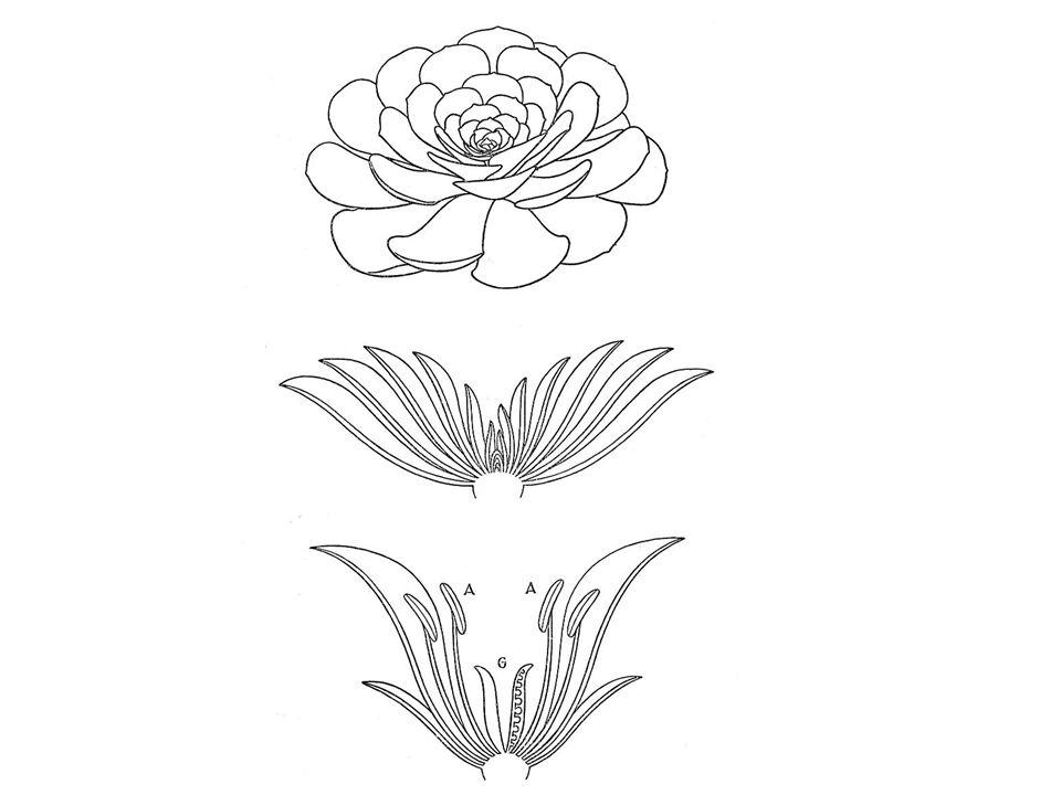 2) v kruzích - kv.cyklické - alternace květních orgánů (pomnožením, redukcí n.