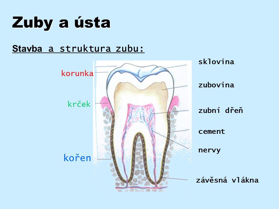 Typy zubů a jejich funkce Zubní oblouk = všechny zuby v horní a nebo v dolní čelisti Typy zubů: zuby nejsou stejné, mají různý tvar