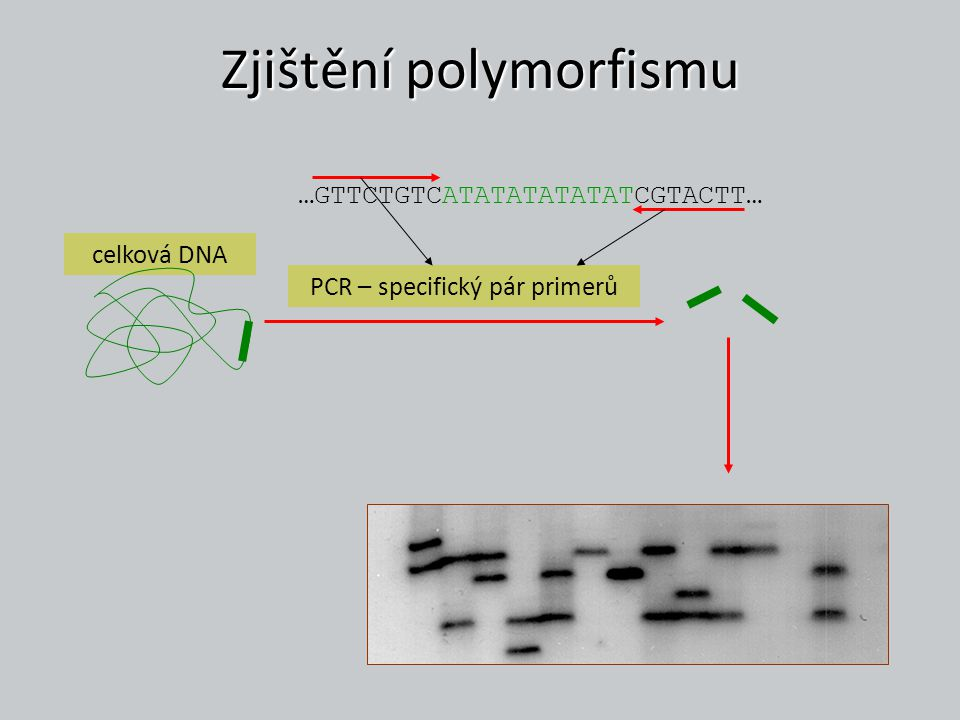 Mutační modely infinite alleles model (IAM) – Kimura & Crow 1964 mutace vytváří novou alelu danou rychlostí u nepovoluje homoplasie identické alely jsou IBD stepwise mutation model (SMM) – Kimura & Ohta 1978 nová alela vzniká přidáním nebo ztrátou jedné jednotky stejná pravděpodobnost ztráty i přidání (u/2) generuje homoplasie (alely nejsou IBD, pouze IIS) alely o podobné délce jsou více příbuzné two-phase model (TPM) – DiRienzo et al.