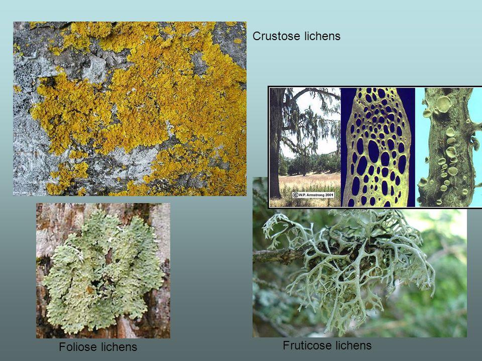 Crustose lichens Foliose lichens Fruticose lichens