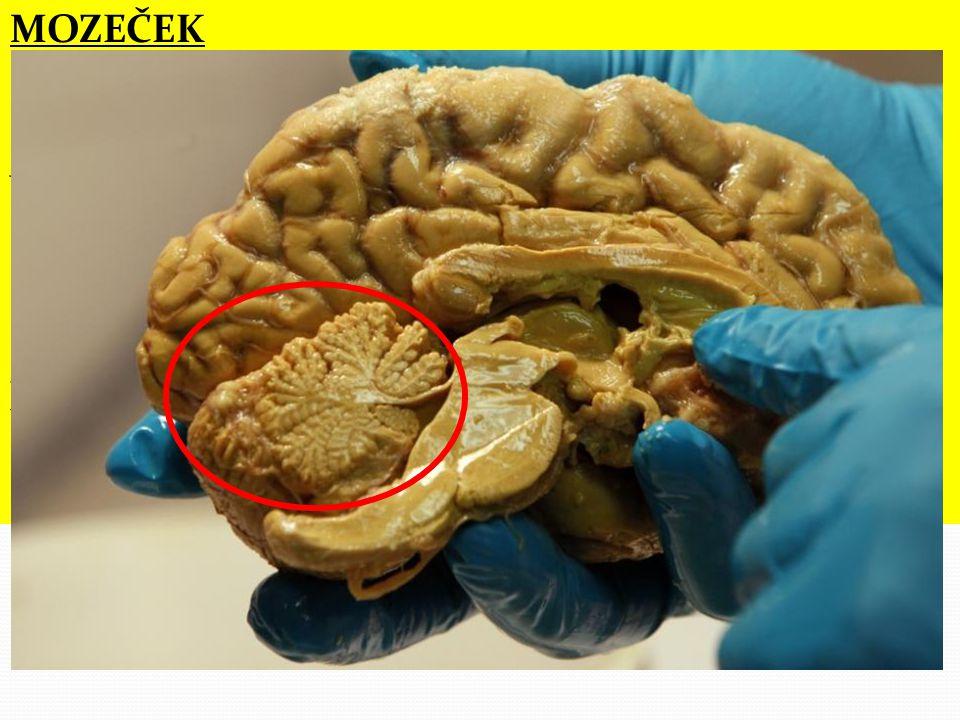 """MOZEČEK  na jeho povrchu je šedá hmota tvořená těly neuronů, uvnitř je bílá hmota tvořená nervovými vlákny  v řezu mozečkem toto uspořádání vytváří strukturu označovanou jako strom života  zajišťuje koordinaci pohybů (jemných, přesných, rychlých) a udržování rovnováhy  činnost mozečku ovlivňuje alkohol (způsobuje """"motání opilých)"""