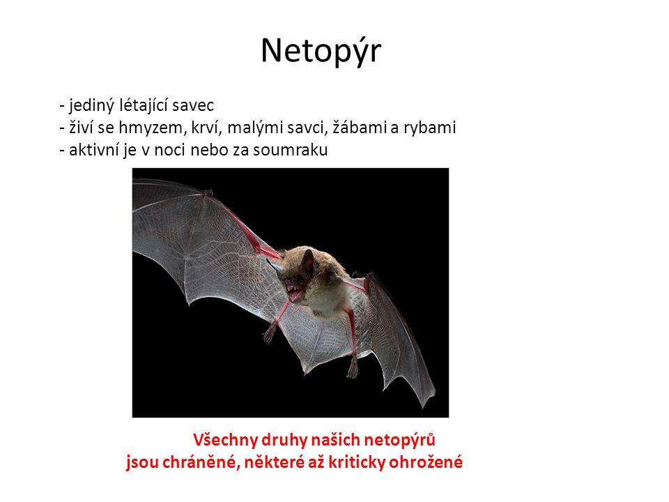 Netopýr - jediný létající savec - živí se hmyzem, krví, malými savci, žábami a rybami - aktivní je v noci nebo za soumraku Všechny druhy našich netopý
