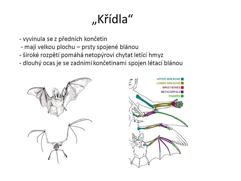 """""""Křídla"""" - vyvinula se z předních končetin - mají velkou plochu – prsty spojené blánou - široké rozpětí pomáhá netopýrovi chytat letící hmyz - dlouhý"""