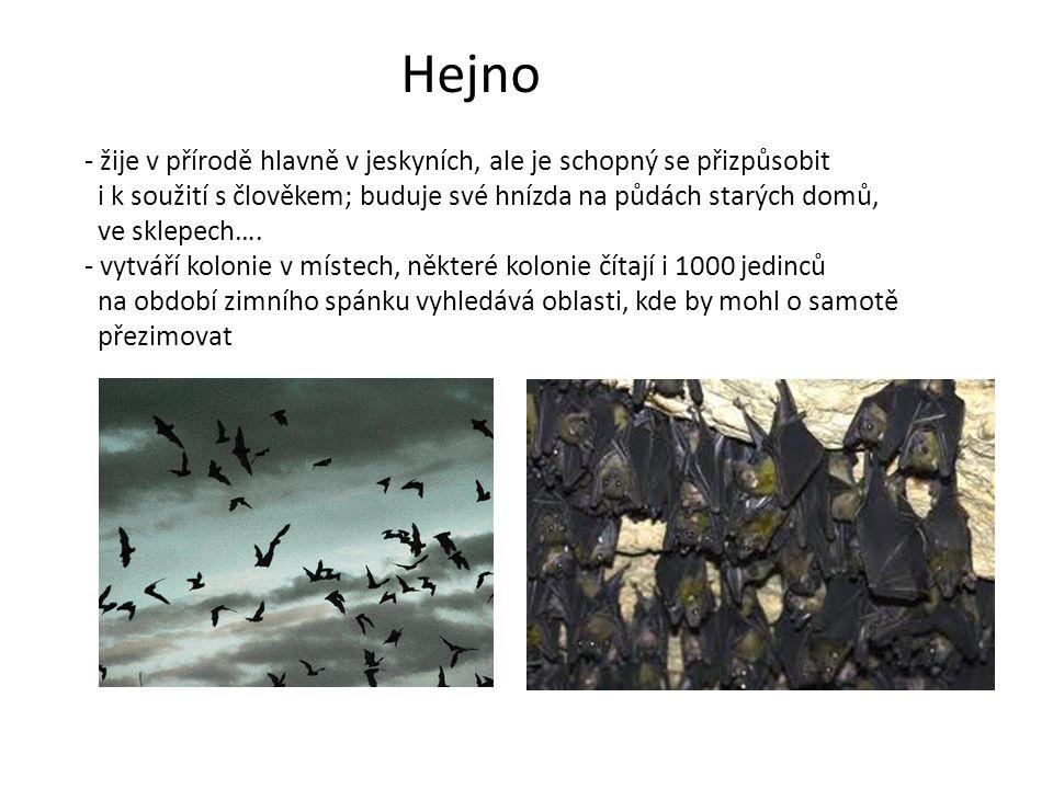 Hejno - žije v přírodě hlavně v jeskyních, ale je schopný se přizpůsobit i k soužití s člověkem; buduje své hnízda na půdách starých domů, ve sklepech
