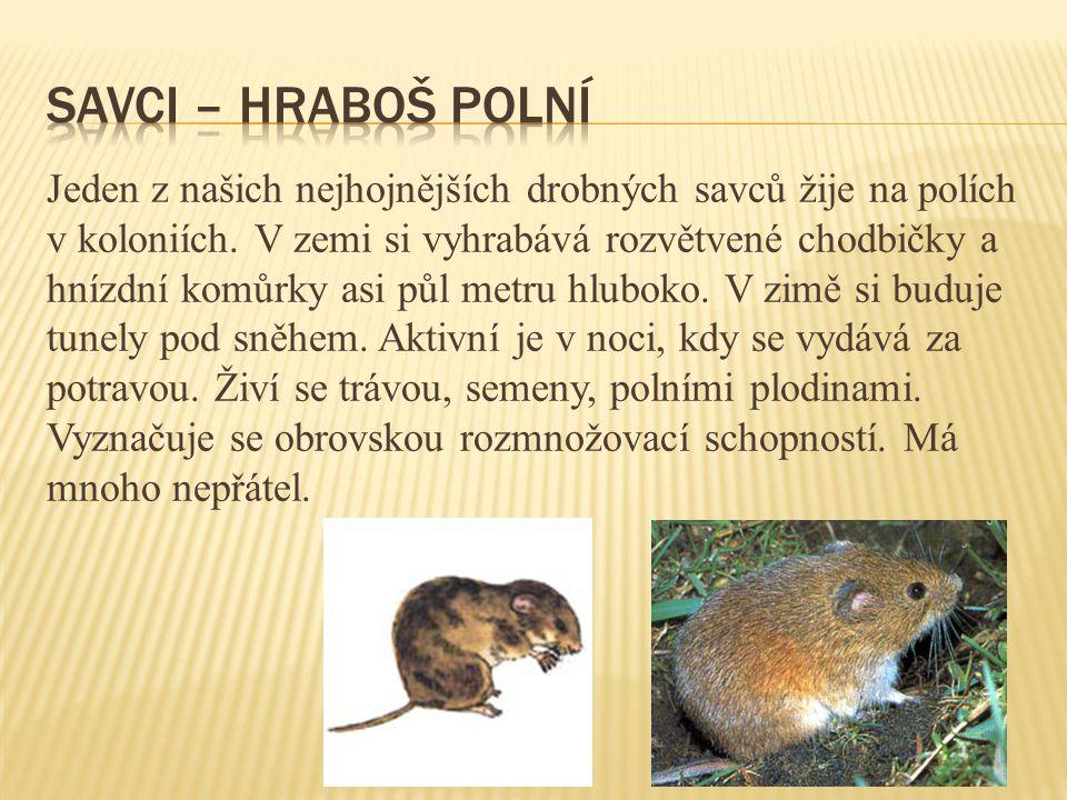 Jeden z našich nejhojnějších drobných savců žije na polích v koloniích. V zemi si vyhrabává rozvětvené chodbičky a hnízdní komůrky asi půl metru hlubo