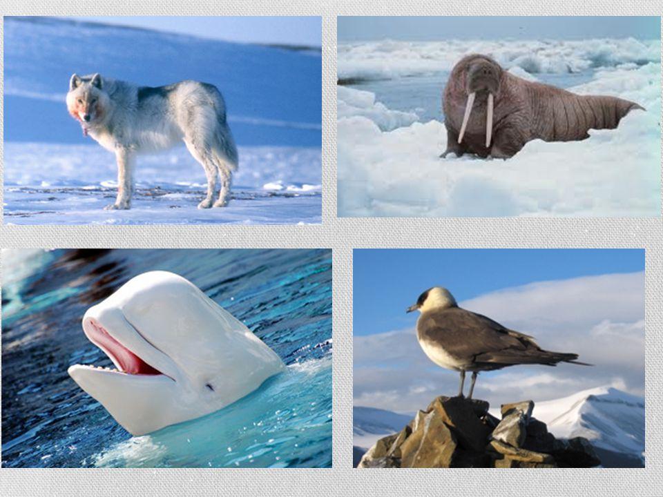 POLÁRNÍ OBLASTI  nejnižší teploty  permafrost  střídání polárního dne a noci  chudá nebo chybějící fauna a flora (život je soustředěn do moře a na pobřeží )  polární pustina = polární poušť - oblasti, které jsou trvale pokryty ledem a sněhem (věčná zima)  na ostrovech Severního ledového oceánu a na Antarktidě polární den - souvislé denní období za polárním kruhem, kdy slunce vůbec nezapadá