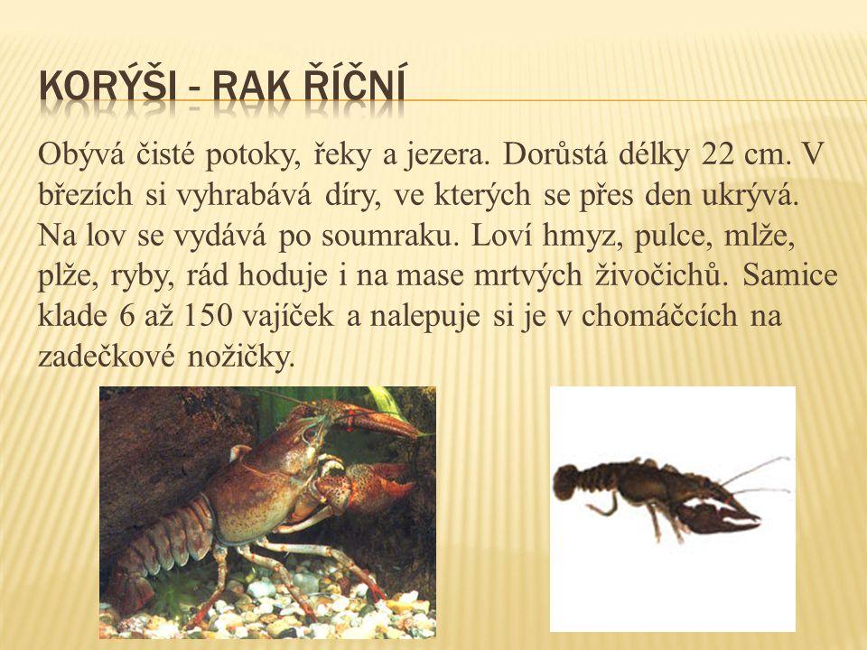 Obývá čisté potoky, řeky a jezera. Dorůstá délky 22 cm. V březích si vyhrabává díry, ve kterých se přes den ukrývá. Na lov se vydává po soumraku. Loví