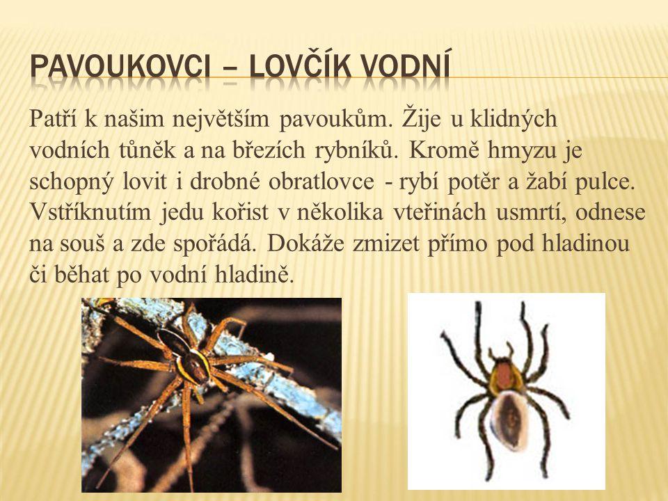 Patří k našim největším pavoukům. Žije u klidných vodních tůněk a na březích rybníků. Kromě hmyzu je schopný lovit i drobné obratlovce - rybí potěr a