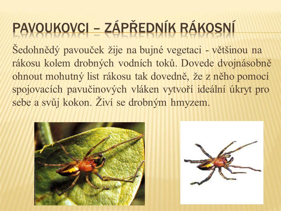 Šedohnědý pavouček žije na bujné vegetaci - většinou na rákosu kolem drobných vodních toků. Dovede dvojnásobně ohnout mohutný list rákosu tak dovedně,