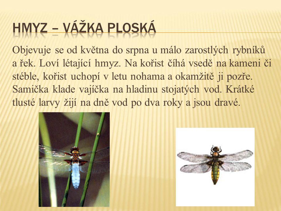 Objevuje se od května do srpna u málo zarostlých rybníků a řek. Loví létající hmyz. Na kořist číhá vsedě na kameni či stéble, kořist uchopí v letu noh