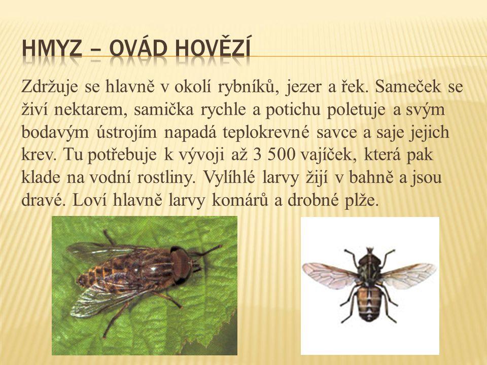 Zdržuje se hlavně v okolí rybníků, jezer a řek. Sameček se živí nektarem, samička rychle a potichu poletuje a svým bodavým ústrojím napadá teplokrevné