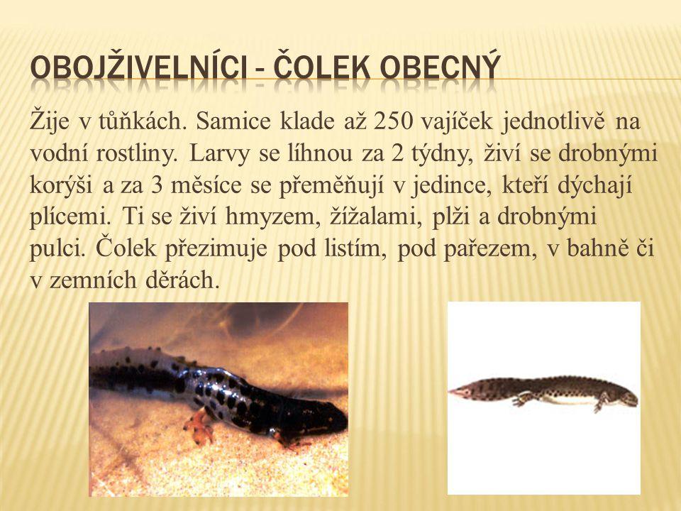 Vyskytuje se v rybnících a tůňkách.