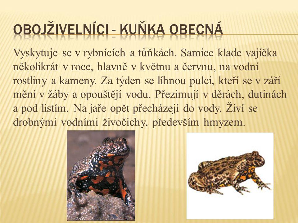 Šedohnědý pavouček žije na bujné vegetaci - většinou na rákosu kolem drobných vodních toků.