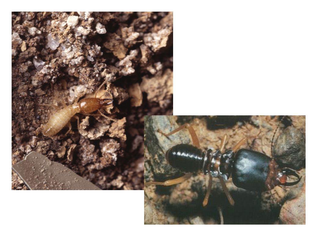 Královský pár - jediný schopný rozmnožování - tvrdé tělo - v době rojení mají oba jedinci dva páry křídel které pak odpadnou - buď nahrazují starý pár, nebo vylétají a zakládají nová hnízda