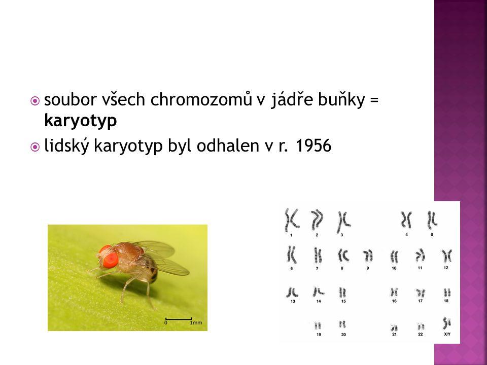  soubor všech chromozomů v jádře buňky = karyotyp  lidský karyotyp byl odhalen v r. 1956