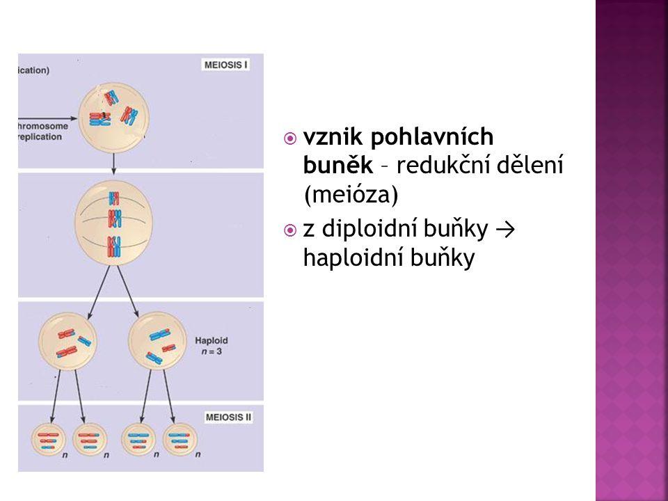  vznik pohlavních buněk – redukční dělení (meióza)  z diploidní buňky → haploidní buňky