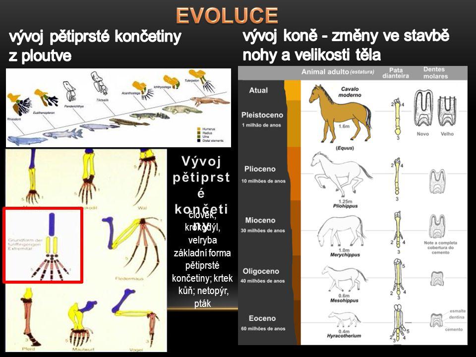člověk, krokodýl, velryba základní forma pětiprsté končetiny; krtek kůň; netopýr, pták